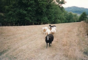 sheep running in a field